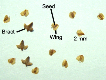 seed and bracts