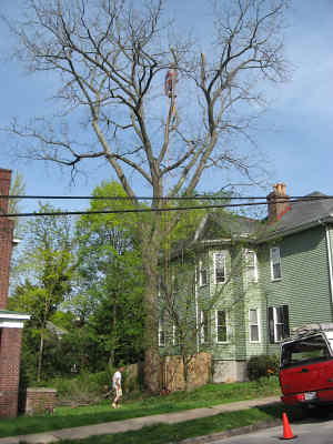 Selling Black Walnut Trees in Sawmills and Milling