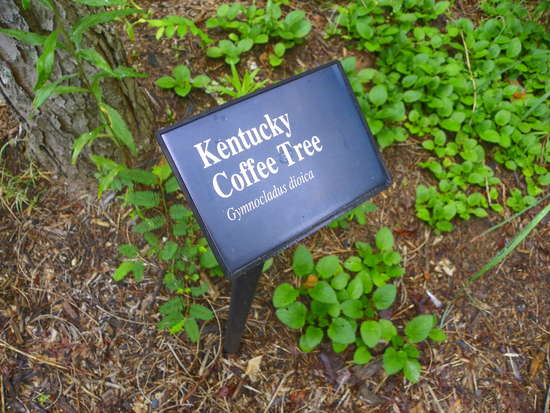 Kentucky coffeewood? Anyone heard of it? in Sawmills and Milling